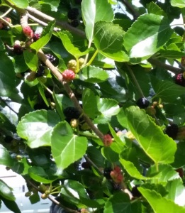 Mulberries-on-tree
